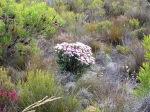 Fynbos-flowers